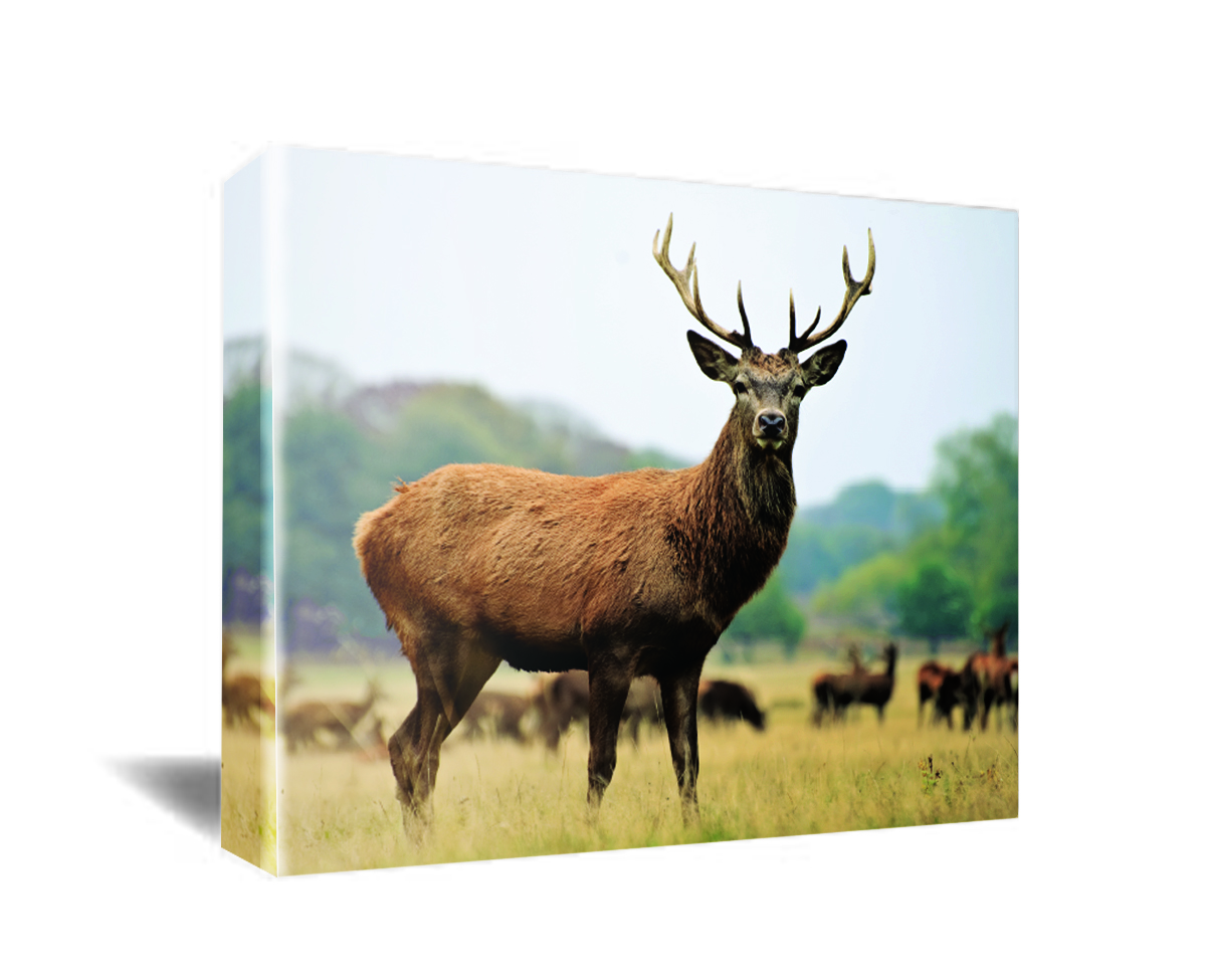 Elk Canvas Wall Art
